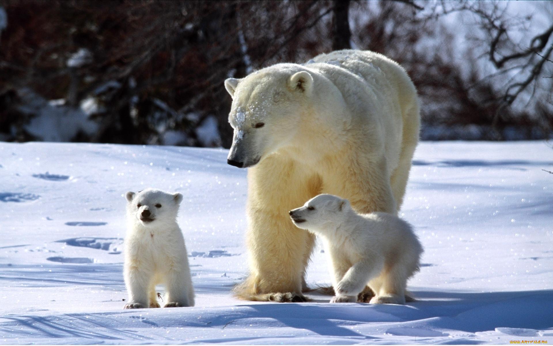 Белый медведь медвежата снег зима